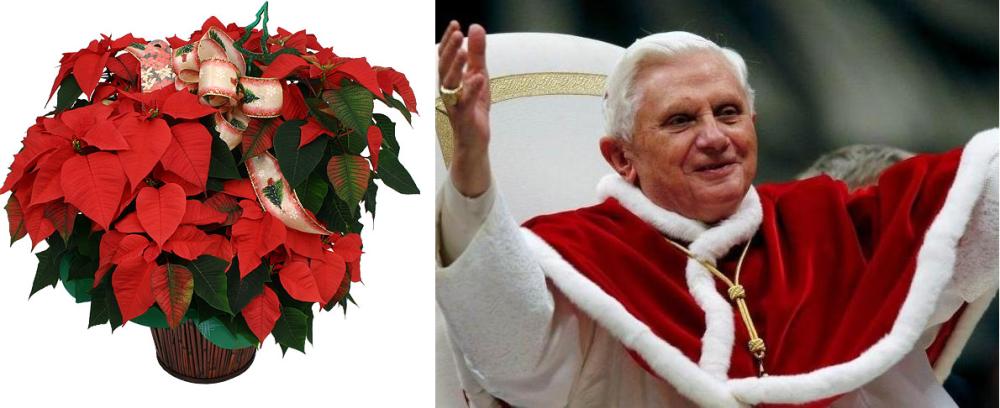 Quand Noël arrive, les Poinsettias  et les papes pourpres reviennent...